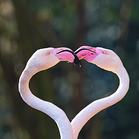 In Love by Johann Fouche - Animals Birds ( love, bird, in love, flamingo, flamingos, birds,  )