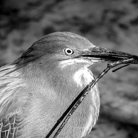 Green Heron by Debbie Quick - Black & White Animals ( debbie quick, nature, florida, debs creative images, waterfowl, outdoors, green heron, bird, animal, black and white, heron, wild, wildlife )