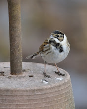 Photo: Male Reed Bunting