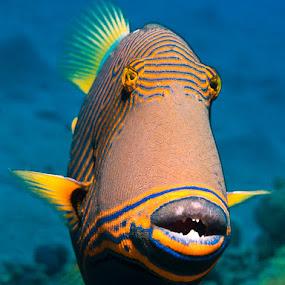 Confrontation by Rico Besserdich - Animals Fish ( red sea, aquatic, underwater, underwater photography, rico besserdich, egypt, triggerfish )