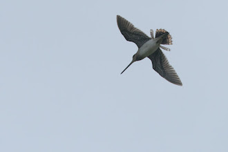 Photo: Common Snipe (Bekassine); ISL