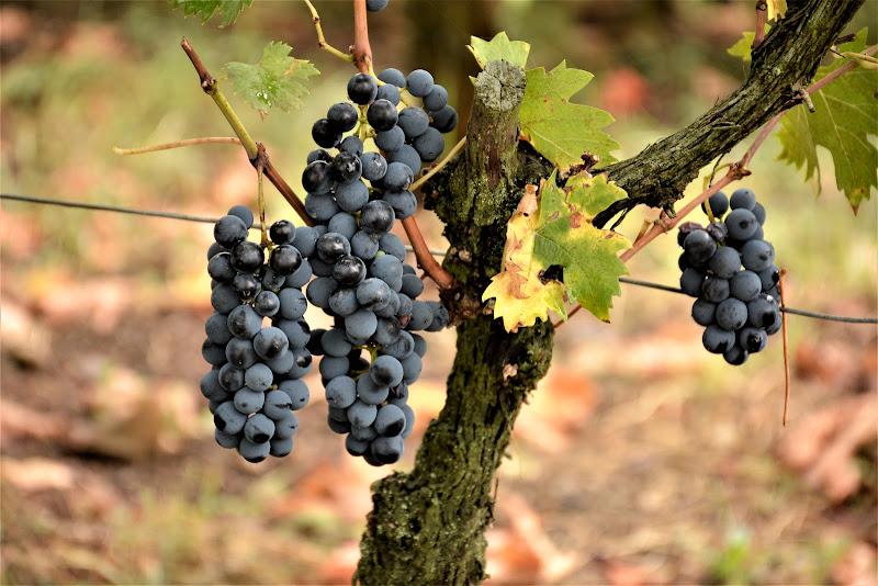 Frutti settembrini di MORENO ANTOGNOLI