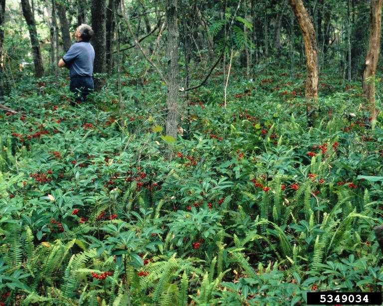 http://nwdistrict.ifas.ufl.edu/phag/files/2012/08/Coral-Ardisia.jpg