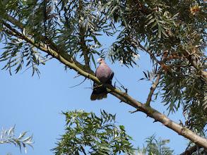 Photo: Streptopelia semitorquata - Entebbe, Uganda