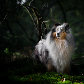 sheltie by 'Monique Smit - Animals - Dogs Portraits ( sheltie, forest, animal, dog )
