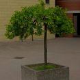 buy tree seeds