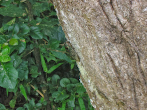 Photo: Cicada (the noise was incessant throughout Iguazu)