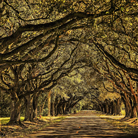Oak Alley by Ron Olivier - Nature Up Close Trees & Bushes ( oak alley,  )