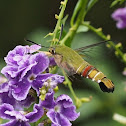 Pellucid Hawk Moth or Coffee Clearwing (Male)