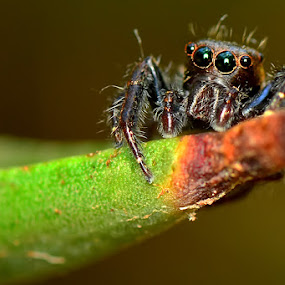 Hangin' Tough by Stevie Go - Animals Insects & Spiders ( macro, spider, insects, eyes )