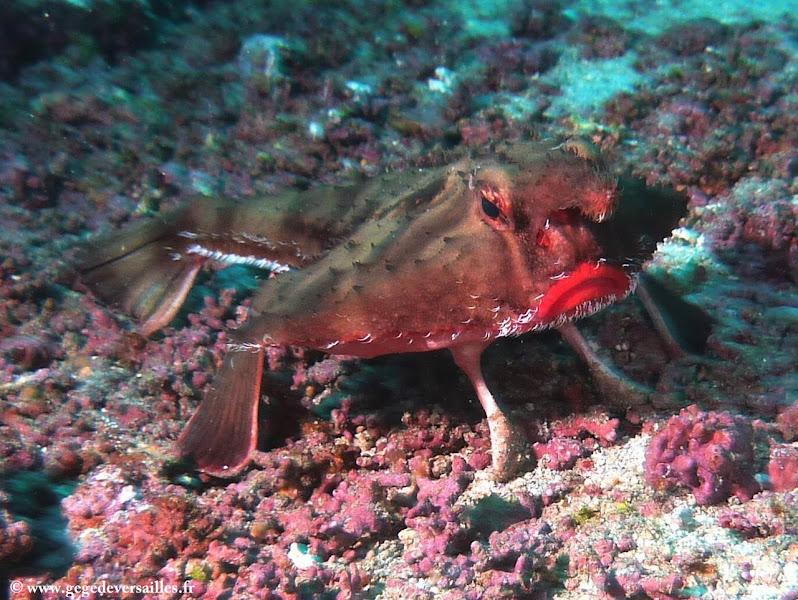 """Photo: #040-Le fameux Red Lipped Batfish de Cocos, famille des """"Ogcocephalidae"""" ou poisson chauve-souris est endémique à Cocos (2010)"""