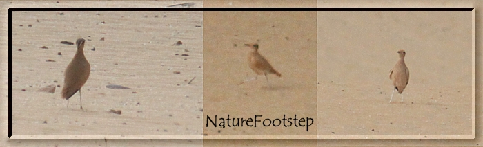 Photo: Ökenlöpare - Cursorius cursor - Cream-coloured Courser - Courvite isabelle   NF Photo 121111 at Tamri Nat Park, Morocco http://nfmoroccobirds.blogspot.se/2013/01/okenlopare-cursorius-cursor-cream.html