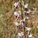 Balkan Lizard Orchid