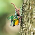 Lantern Bug (龍眼雞)