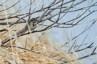 Photo: Song Sparrow, Quidi Vidi Lake, 4 Dec 2013