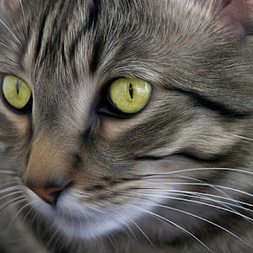 Handsome by Amy Gant - Animals - Cats Portraits
