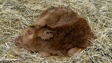 Photo: Two Day Old Ollie Taking a Snooze in the Hay
