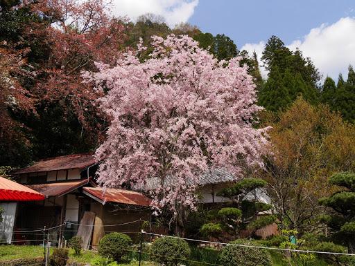 仏隆寺境内の桜