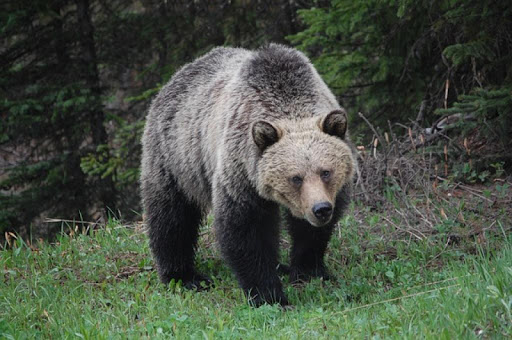 Grizzly Bears Wallpapers FREE