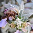 Bee. Abeja