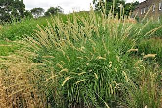 Photo: Pennisetum macrourum - grassenborder Kew