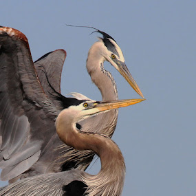 by April Nowling - Animals Birds ( great blue heron,  )