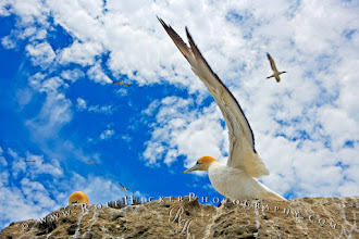 Photo: Today I want to show you a great bird - the Australasian Gannet, which I photographed on the North Island of New Zealand. I'm very happy with this shot because it shows the bird getting ready to take of and it shows the amazing size of the wings - in order to bring them out better I was trying to get below the bird so it will show up against the sky. #animals #birds # NewZealand  Hope you like it. Canon 1Ds Mark 2, 35mm!!!, 1/200, f/8
