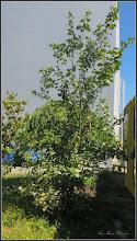 Photo: Măr ornamental - (Malus spp) - din Piata 1 Decembrie 1918, spatiu verde - 2017.07.04