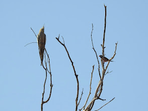 Photo: Cockatiel and Long-tailed Finch sharing a tree at Dingo Springs