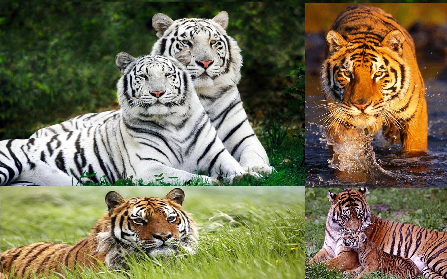 tiger wallpaper - android apps on google play