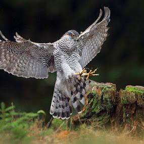Goshawk by Matej Vranič - Animals Birds ( bird, bird of prey, landing, raptor, goshawk )