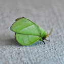 Rose-myrtle Lappet Moth ( निशाचर पुतली )