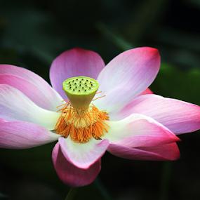 Blossom by Steven De Siow - Flowers Single Flower ( lotus, single flower, nature close up, flower, lotus flower )