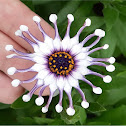 Trailing African daisy
