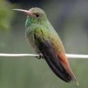Amazilia Colirrufo - Rufous-tailed Humingbird
