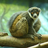 Mongoose lemur (Captive)