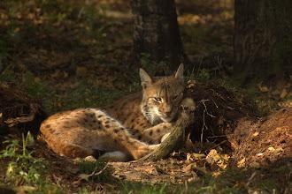 Photo: Lynx at the zoo