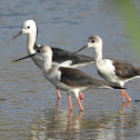 Black-winged Stilt (adult with juveniles)