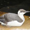 Common Guillemot/Common Murre