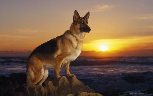 German Shepherd Live Wallpaper