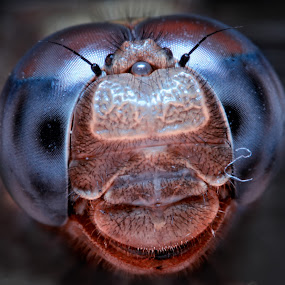 Full Face by Abdie Dedde Darrell - Animals Insects & Spiders ( macro satwa )