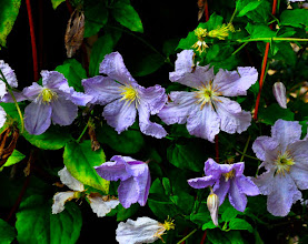 Photo: Clematis  'Blue Angel '