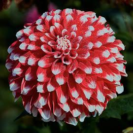 Dahlia 8564 by Raphael RaCcoon - Flowers Single Flower