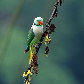 Blue - winged Parakeet by Madhu Soodanan - Animals Birds