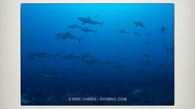 Photo: Hundreds of reef sharks. This is OK...