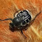 Texas flower scarab