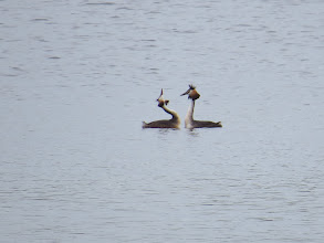 Photo: 2 Jul 13 Trench Pool: Isn't love wonderful: these Great Crested Grebes think so (this is the other pair at Trench Lock). (Ed Wilson)