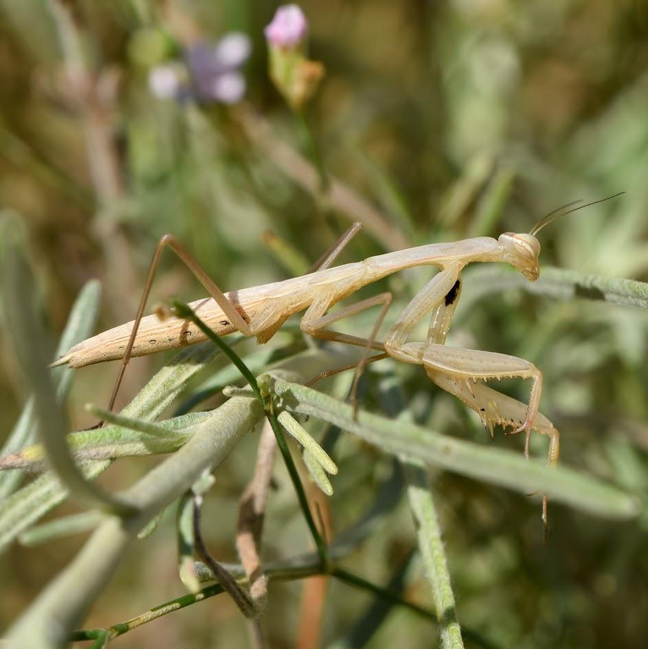 Europese bidsprinkhaan - Mantis religiosa