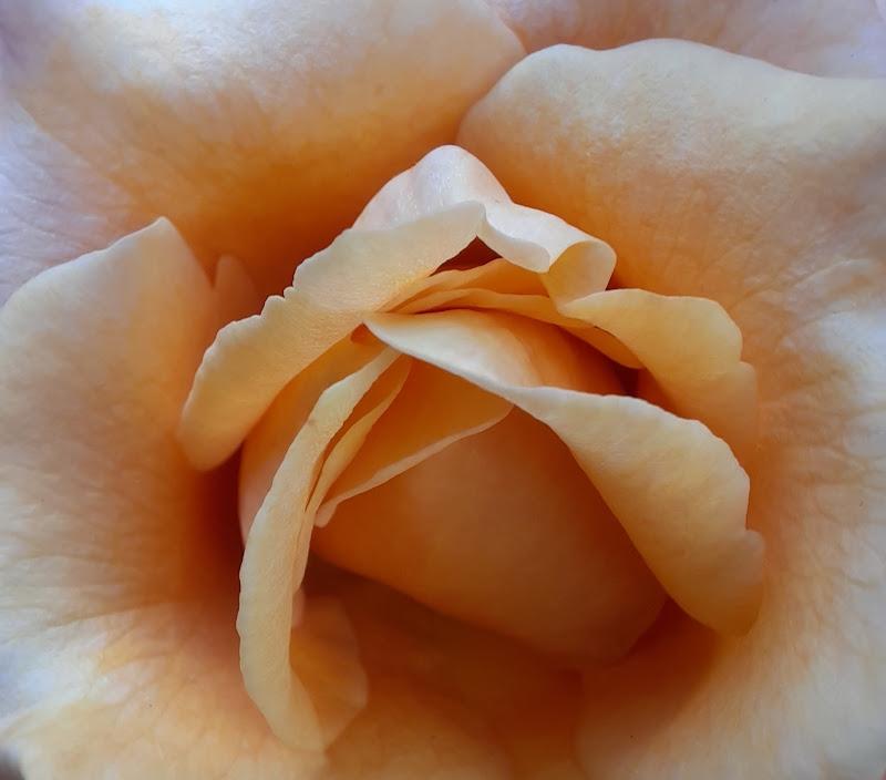 Fiore ora di Dido2008