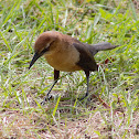 Boat-Tailed Grackle(Female)